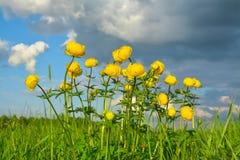 Άνθιση globeflower σε ένα λιβάδι στο νεφελώδη ουρανό υποβάθρου Στοκ φωτογραφία με δικαίωμα ελεύθερης χρήσης