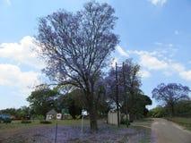 Άνθιση Jacaranda στοκ εικόνα με δικαίωμα ελεύθερης χρήσης