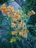 Άνθιση Jasmine, όμορφο λουλούδι νύχτας χρώματος νύχτας ανθίζοντας πορτοκαλί στοκ φωτογραφία