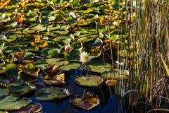 Άνθιση Lotus σε μια λίμνη κρίνων Στοκ Εικόνες