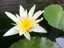 Άνθιση Lotus Στοκ φωτογραφίες με δικαίωμα ελεύθερης χρήσης