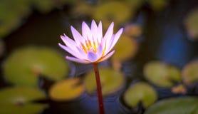 Άνθιση Lotus Στοκ εικόνες με δικαίωμα ελεύθερης χρήσης