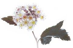 Άνθιση Ninebark (opulifolius Physocarpus) Στοκ φωτογραφίες με δικαίωμα ελεύθερης χρήσης