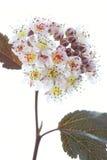 Άνθιση Ninebark (opulifolius Physocarpus) Στοκ Εικόνες