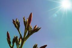 Άνθιση oleander Στοκ Εικόνες