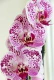 Άνθιση Phalaenopsis όμορφα λουλούδια τρία στοκ εικόνα