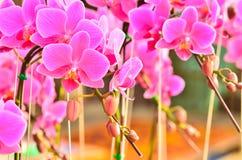 Άνθιση Phalaenopsis Στοκ εικόνα με δικαίωμα ελεύθερης χρήσης