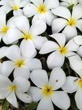 Άνθιση Plumeria στον πράσινο χορτοτάπητα χλόης Στοκ φωτογραφία με δικαίωμα ελεύθερης χρήσης