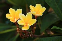 Άνθιση Plumeria Frangipani Στοκ φωτογραφία με δικαίωμα ελεύθερης χρήσης