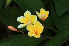 Άνθιση Plumeria Frangipani Στοκ Εικόνες