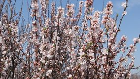 Άνθιση Sakura απόθεμα βίντεο