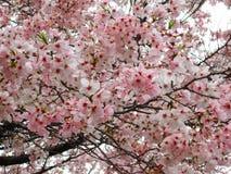 Άνθιση Sakura Στοκ εικόνα με δικαίωμα ελεύθερης χρήσης