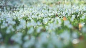 Άνθιση Snowdrops στο φως του ήλιου πρωινού απόθεμα βίντεο
