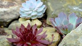 Άνθιση succulent με τα ρόδινα λουλούδια απόθεμα βίντεο