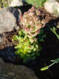 Άνθιση succulent στοκ εικόνα με δικαίωμα ελεύθερης χρήσης