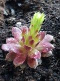 Άνθιση succulent στοκ εικόνα