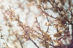 Άνθισμα άνοιξη του δέντρου βερικοκιών Στοκ Φωτογραφία