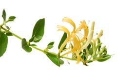 Άνθισμα άσπρος-κίτρινο HoneysuckleWoodbine στοκ φωτογραφία με δικαίωμα ελεύθερης χρήσης