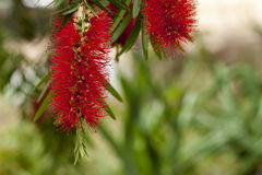 Άνθισμα δέντρων Bottlebrush Στοκ Εικόνα