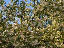 Άνθισμα ενός Apple-δέντρου την άνοιξη Στοκ εικόνα με δικαίωμα ελεύθερης χρήσης