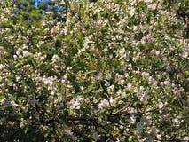 Άνθισμα ενός Apple-δέντρου την άνοιξη Στοκ Φωτογραφία