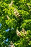άνθισμα κάστανων κλάδων Στοκ Φωτογραφίες