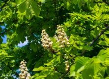 άνθισμα κάστανων κλάδων Στοκ φωτογραφία με δικαίωμα ελεύθερης χρήσης