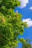 άνθισμα κάστανων κλάδων Στοκ Εικόνα