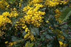 Άνθισμα κίτρινο Mimosa Στοκ Εικόνα