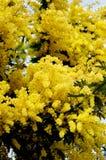 Άνθισμα κίτρινο Mimosa Στοκ φωτογραφία με δικαίωμα ελεύθερης χρήσης