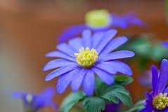 Άνθισμα μπλε Windflower την άνοιξη Στοκ φωτογραφία με δικαίωμα ελεύθερης χρήσης