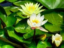 Άνθισμα λουλουδιών Lotus Στοκ Φωτογραφία
