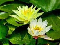 Άνθισμα λουλουδιών Lotus Στοκ φωτογραφία με δικαίωμα ελεύθερης χρήσης