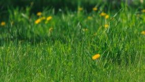 άνθισμα πικραλίδων Στοκ Φωτογραφίες
