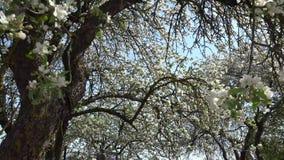 Άνθισμα της Apple ή οπωρωφόρο δέντρο φιλμ μικρού μήκους