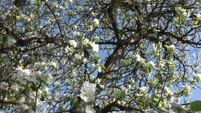 Άνθισμα της Apple ή οπωρωφόρο δέντρο απόθεμα βίντεο