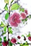 Άνθισμα του δέντρου άνοιξη Στοκ Εικόνα