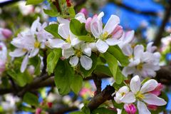 Άνθισμα του δέντρου μηλιάς Στοκ Φωτογραφίες