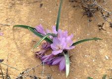 Άνθισμα του colchicium Lat - Colchicum Ritchii στην έρημο Negev στοκ εικόνες με δικαίωμα ελεύθερης χρήσης
