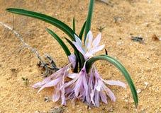 Άνθισμα του colchicium Lat - Colchicum Ritchii στην έρημο Negev στοκ εικόνες