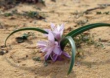 Άνθισμα του colchicium Lat - Colchicum Ritchii στην έρημο Negev στοκ εικόνα