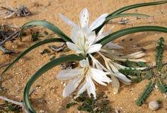 Άνθισμα του colchicium Lat - Colchicum Ritchii στην έρημο Negev στοκ φωτογραφίες