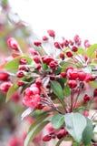 Άνθισμα των λουλουδιών του ρόδινου sakura Στοκ Εικόνες