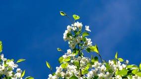 Άνθισμα των Apple-δέντρων σε έναν κήπο φιλμ μικρού μήκους