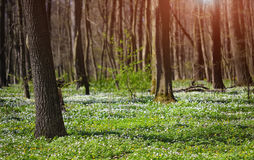 Άνθισμα anemones στο δάσος στην άνοιξη Στοκ Φωτογραφία