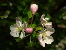 Άνθισμα Apple-δέντρων Στοκ Φωτογραφίες