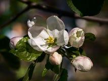 Άνθισμα Apple-δέντρων Στοκ εικόνα με δικαίωμα ελεύθερης χρήσης