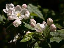 Άνθισμα Apple-δέντρων Στοκ φωτογραφία με δικαίωμα ελεύθερης χρήσης