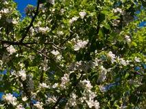 Άνθισμα Apple-δέντρων Στοκ Φωτογραφία