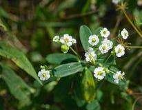 Άνθισμα corollata ευφορβίας Spurge †« Στοκ εικόνες με δικαίωμα ελεύθερης χρήσης